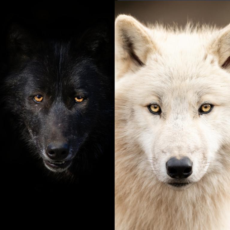 Voed jij de zwarte wolf of de witte wolf het meeste?